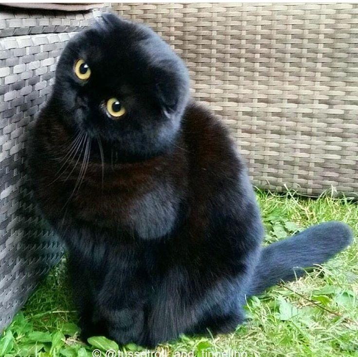 Black Scottish Fold cat