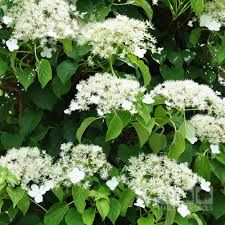 Image result for climbing hydrangea