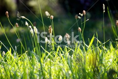 Sunlit Grass with Pollen Seed Heads Royalty Free Stock Photo