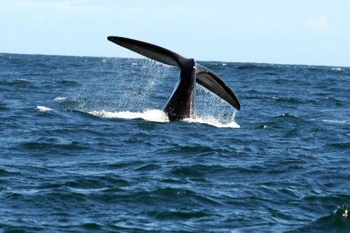 Make sure to go whale watching from Walker Bay!