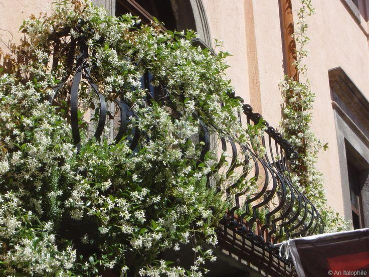 8 best images about jasmin balcony on pinterest jasmine for Coltivare more in vaso