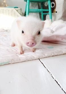Ny Teacup Piggies - Micro Mini Pigs For Sale, Teacup Pigs, Teacup Pigs For Sale