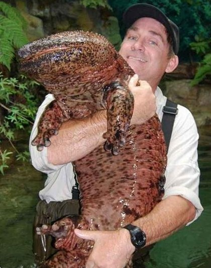 """The Japanese giant salamander (Andrias japonicus) is endemic to Japan, where it is known as Ōsanshōuo, literally meaning """"giant pepper fish"""". It is a long-lived species, with the captive record being an individual that lived in the Netherlands, for 52 years. In the wild they may live for nearly 80 years."""