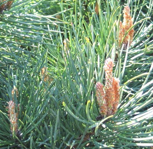 Pine - Fiori di Bach