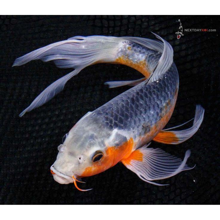 "Butterfly Koi Fish   12"" Asagi Butterfly Koi   Koi Fish For Sale"