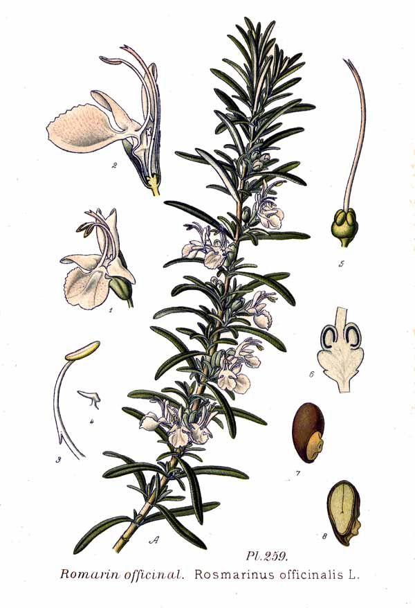 Ilustración. De Amédée Masclef - Atlas des plantes de France. 1891, Dominio público, https://commons.wikimedia.org/w/index.php?curid=5771169