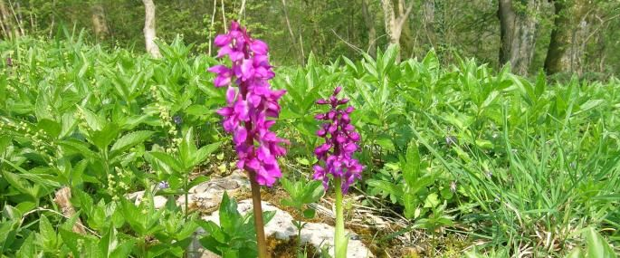 Harton Hollow early purple orchids - Shropshire WT a pretty wood on an ancient barrier reef
