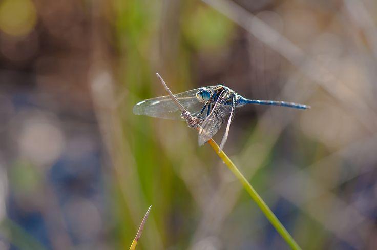 Rhionaeschna mutata by Graziella Serra Art & Photo on 500px