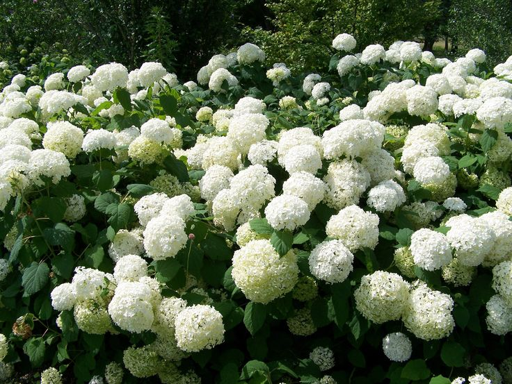 snowball plants shrub | Snowball Bushes Free Stock Photo HD - Public Domain Pictures