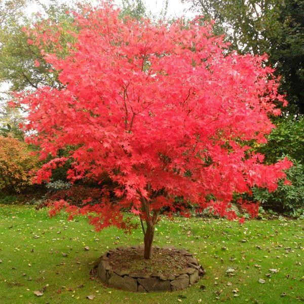 Acer palmatum Osakazuki Japanese maple Johnstown