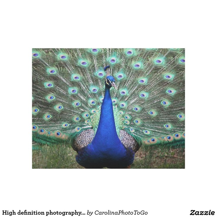High definition photography of Peacock on canvas Canvas Print
