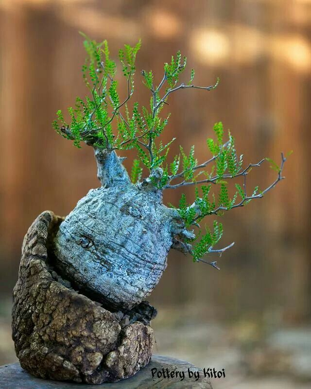 95 best images about caudex forming plants on pinterest for Rare bonsai species