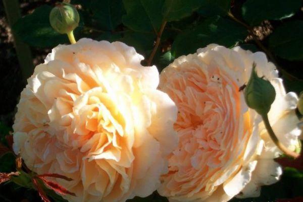 Роза Принцесса Маргарет (Crown Princess Margareta)  - розы David Austin -
