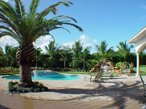Canary Island Date Palm Or Pineapple Date Palm 9 Feet Clear Trunk Installed In Concrete By Pool