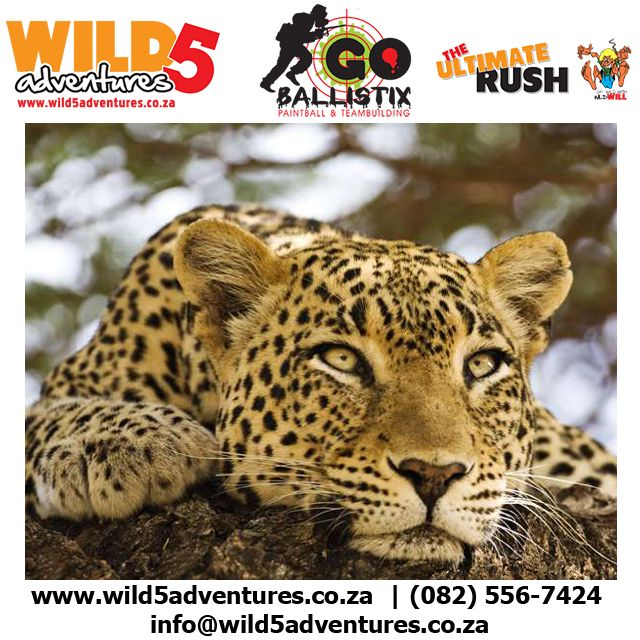 The African Leopard is one of the rarest animals seen in nature #Wild5PawPrint http://buff.ly/1CV3kD9