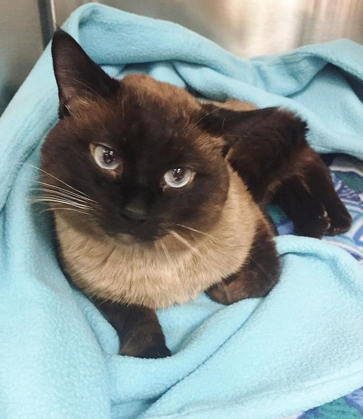 Adopt Stannis On Petfinder Siamese Cats Blue Point Saving Cat Cat Breeds