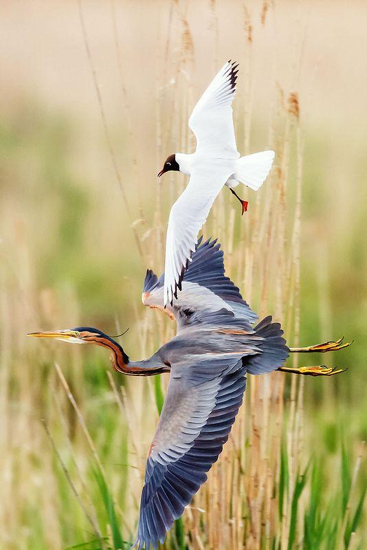 In flight  by Naturfotografie - Stefan Betz*