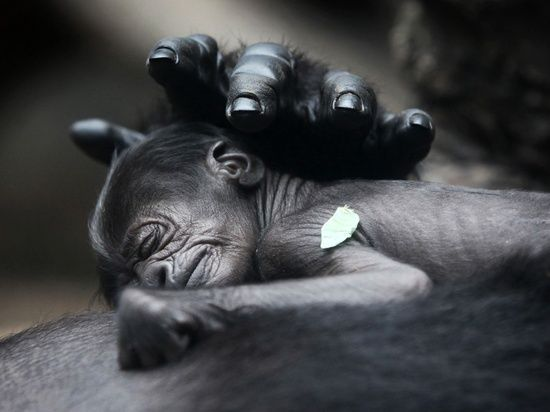Love is love. A baby gorilla born on 10 July at Frankfurt zoo sleeps on the chest of its mother, Rebecca. The newborn has not yet been named. photo  Fredrik Von Erichsen.