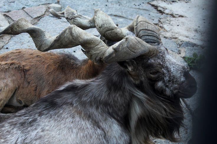 Винторогий козел  Московский зоопарк  август 2015 г.