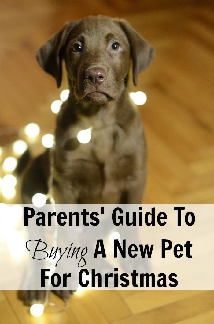 Parents Guide To Buying A New Pet For Christmas Pets Puppy