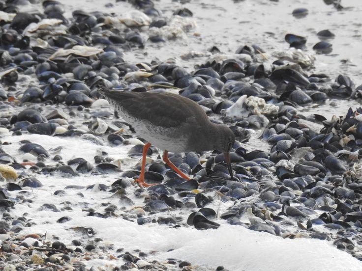 Tureluur zoekt voedsel tussen de schelpen - Vogels - Tureluur