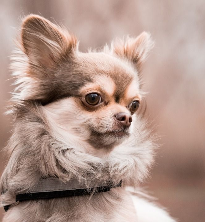 Free Image On Pixabay Chihuahua Dog Animal Brown Male