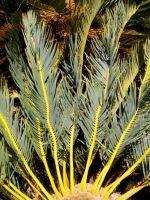 Encephalartos friderici-guilielmi leaves