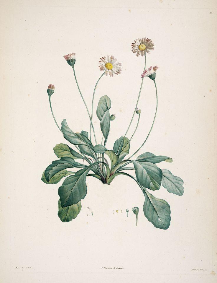 gravures botanique Rousseau - gravures botanique Rousseau - 165 bellis perennis - paquerette vivace - Gravures, illustrations, dessins, images