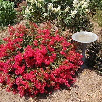 Flowering Trees Amp Small Ornamental Trees Perfect For Your