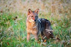 Field&Stream- why shotguns are better for coyote hunting.