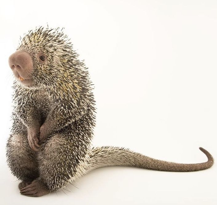 Oh my lord! Meet Piper, the Brazilian porcupine from Saint Louis Zoo ❤️