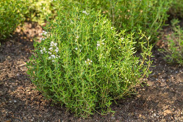 tymián v bylinkové zahrádce