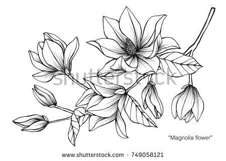Magnolia Flower Drawing And Sketch With Black White Line Art On