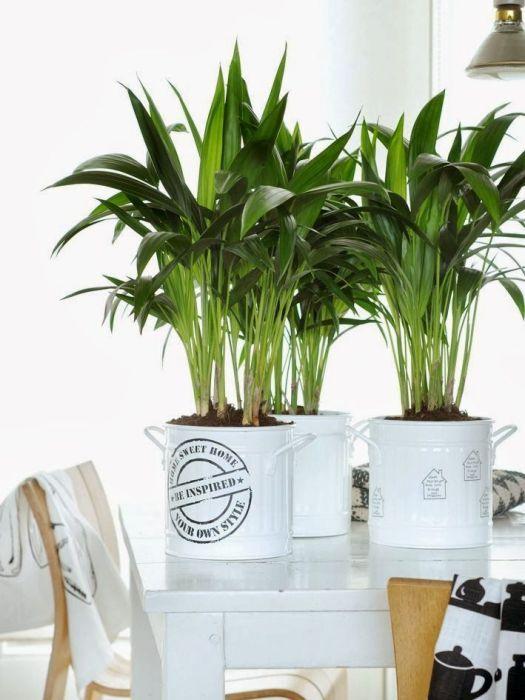 Palma kencja (Howea) – wszystko, co musisz wiedzieć o jej uprawie | Bambusowy sen - wszystko o bambusach ogrodowych i palmach