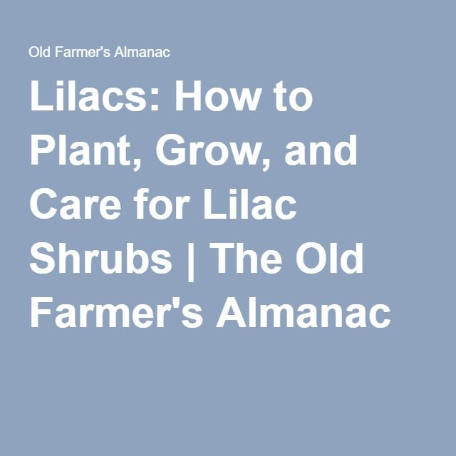 Lilacs: How to Plant, Grow, and Care for Lilac Shrubs | The Old Farmer's Almanac