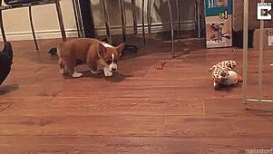 Tastefully Offensive on Tumblr — Corgi puppy likes to flop. [full video]