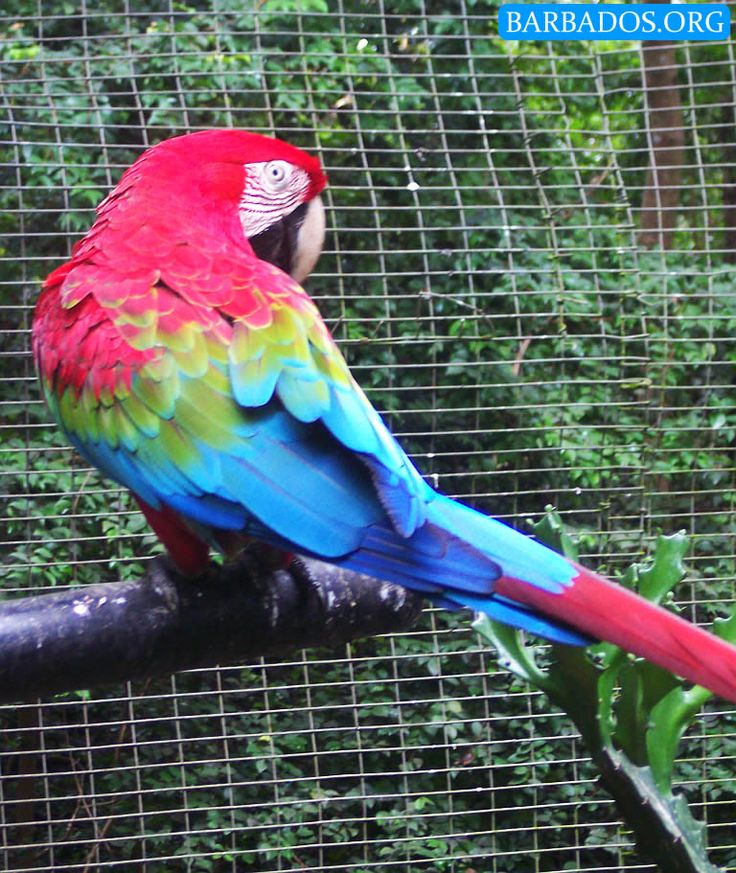 Meet gorgeous parrots at the Barbados Wildlife Reserve.