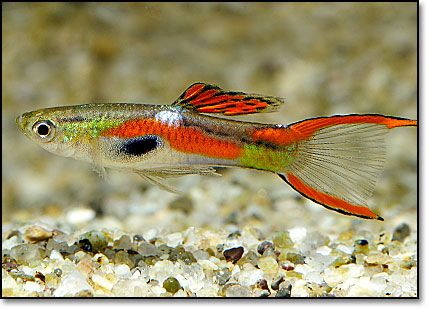 1000 images about guppies on pinterest cichlids for Endler guppy
