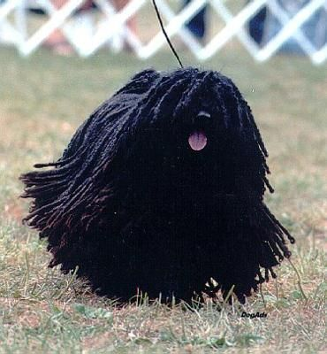 Puli-a dog with dreads.  Is that what I will look like with dreads?