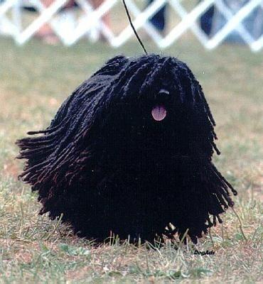 black puli