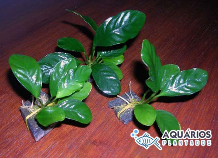 Planta aquática para aquapaisagismo Anúbia Barteri var. Coffeefolia.