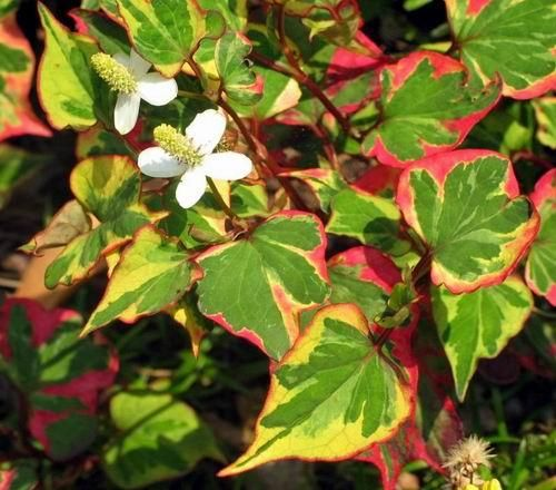 """Chameleon Plant Ground Cover--Heart-shaped yellow, green, bronze & scarlet foliage with small white flowers that appear in summer. Zone 6. Full Sun. Low spreading. 6-8"""" tall. Likes Wet soil. Can become invasive, so be careful."""
