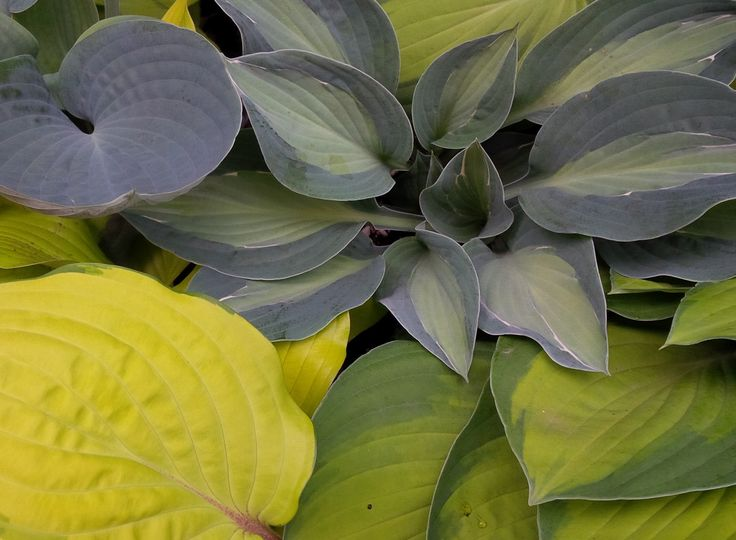 Hosta with Hosta! Kiwi Full Monty, Halcyon, Sweet Home Chicago and Paradise Island!