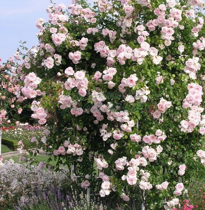 róże angielskie pnące - Szukaj w Google