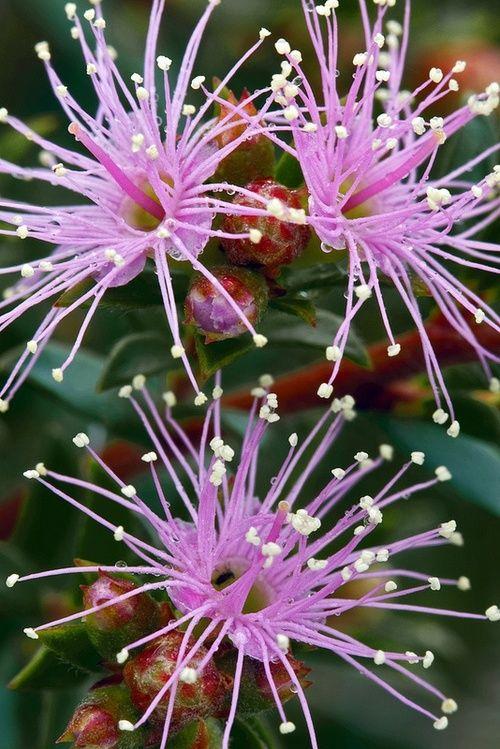 Pink Gum Tree Flowers
