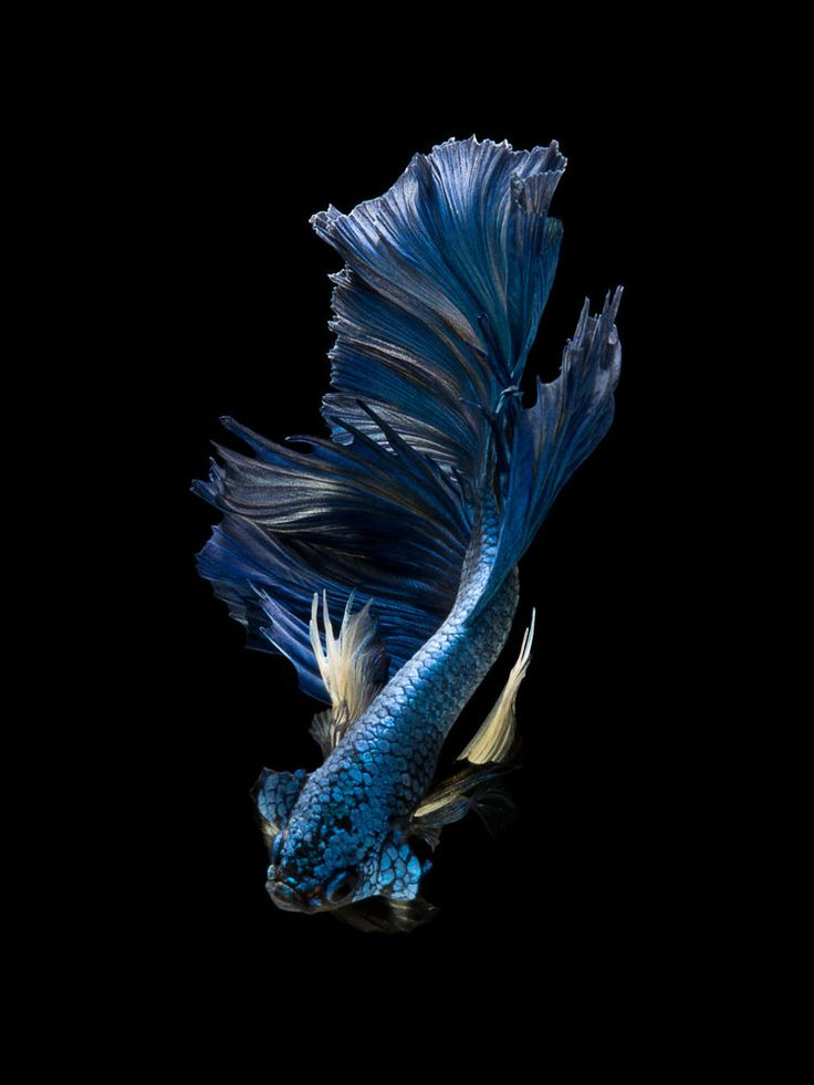 17 best images about art on pinterest abstract art for Betta fish diseases