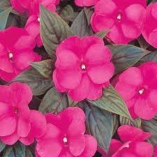Impatiens- New Guinea Harmony Dark Pink