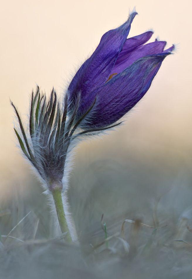 Blume Blüte frühblüher küchenschelle kuhschelle Makro Pulsatilla vulgaris