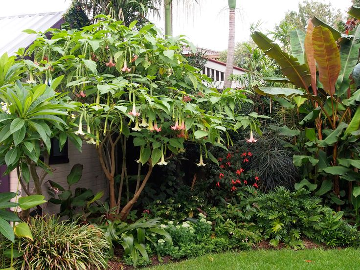 How to: prune angels trumpet