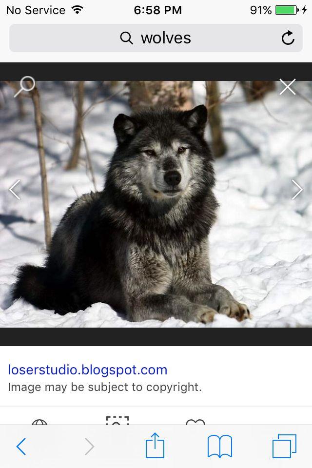 This looks half bear and half wolf lol